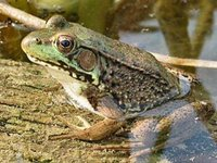 Green_frog_2