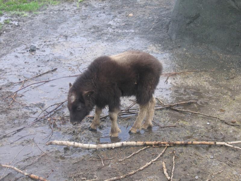 Zoo_baby_musk_ox_2
